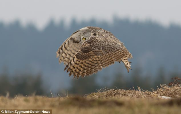 The brown and black owl is well camouflaged as it swooped close to the dried grass