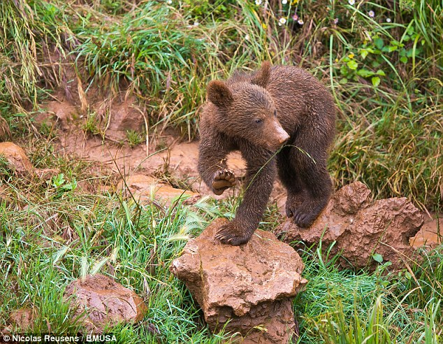 Adios! This brown bear cub appears to wave goodbye as he climbs over some rocks at Cabarceno National Park, Spain