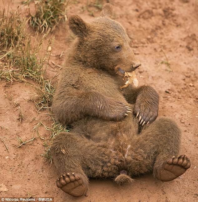 Dinner time: This brown bear cub appears to be running his stomach as he munches on a dried leaf
