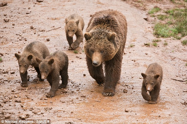 Rare insight: Photographer Nicolas Reusens captured these images of a family of European Brown Bears in Cabarceno Natural Park in Spain