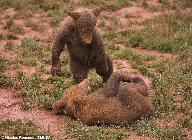 Play time: Two other brown bear cubs are bit more active as they wrestle in Cabarceno National Park, Spain