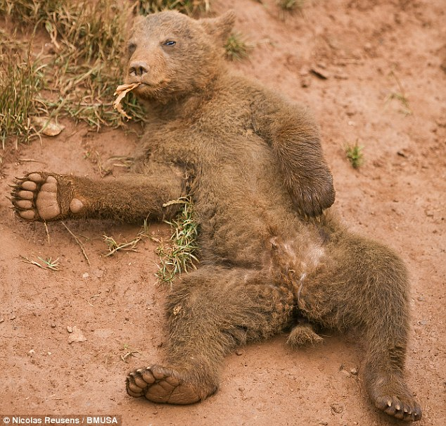 Forget about your worries and your strife: This brown bear cub appears to have taken the lyrics from the Jungle Book's Bare Necessities to heart as he sits back and relaxes in Cabarceno National Park, Spain