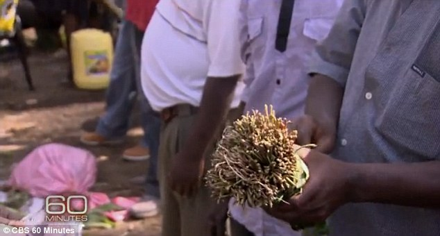 Drugged up: They were in the hands of men and boys chewing khat - which has the same effect as amphetamines