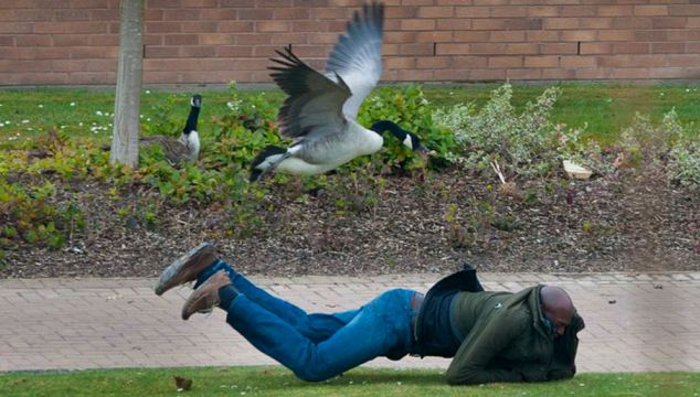 The student was forced to make a dive for cover as the goose attacked, watched by its mate