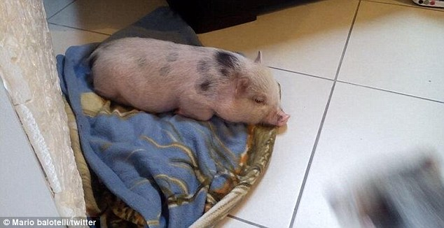 Hogging the limelight: This piglet is apparently Mario Balotelli's mascot