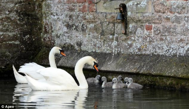 Swans have been synonymous with Wells for centuries where resident swans patrol the stunning 13th century Bishop's Palace