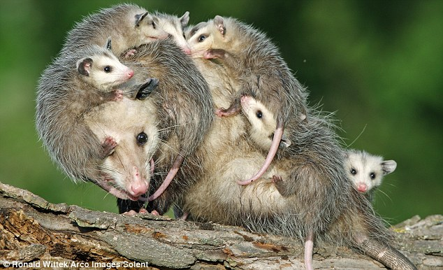 Play nice! The parent opossum is swamped by the youngsters, which were just six weeks old when the pictures were taken