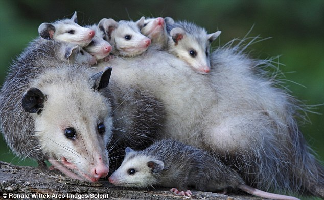 Brood: The tiny opossums are then carried on their parent's back - adults can have up to 15 babies at one time