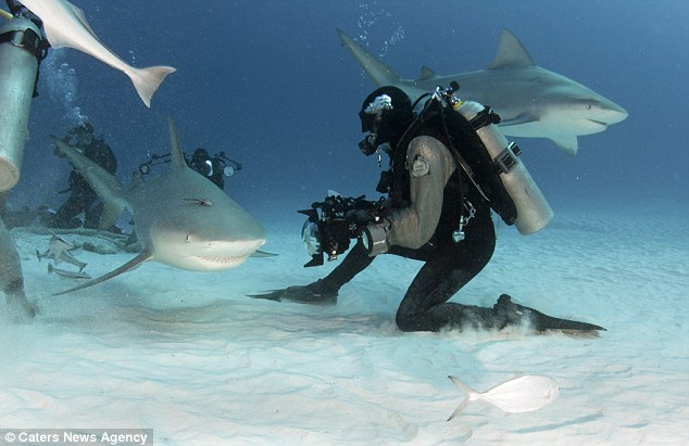 Steady nerves: The bull shark is one of the most feared species and is responsible for the majority of attacks on humans