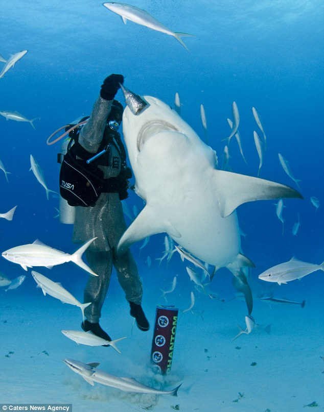 Calm and collected: Diver Carlos says that he has become completely comfortable with the bull sharks which swim near his home in Playa Del Carmen in Mexico