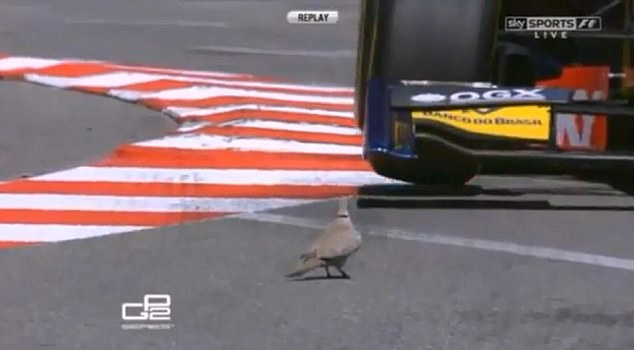 Bird's eye view: A dove takes on Felipe Nasr (above) before thinking better of it and leaping out of the way