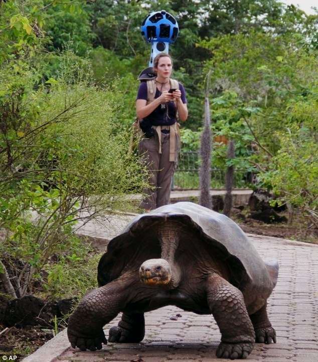 A giant tortoise crawls along a path in Galapaguera, a tortoise breeding center on the Galapagos Islands.