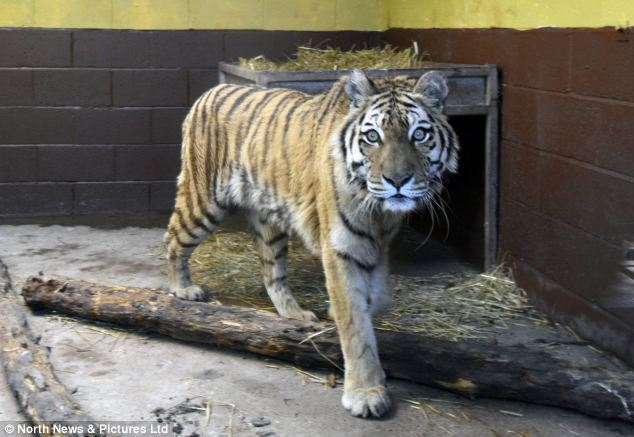 In captivity: One of the tigers at the South Lakes Wild Animal Park, which was not involved in the attack