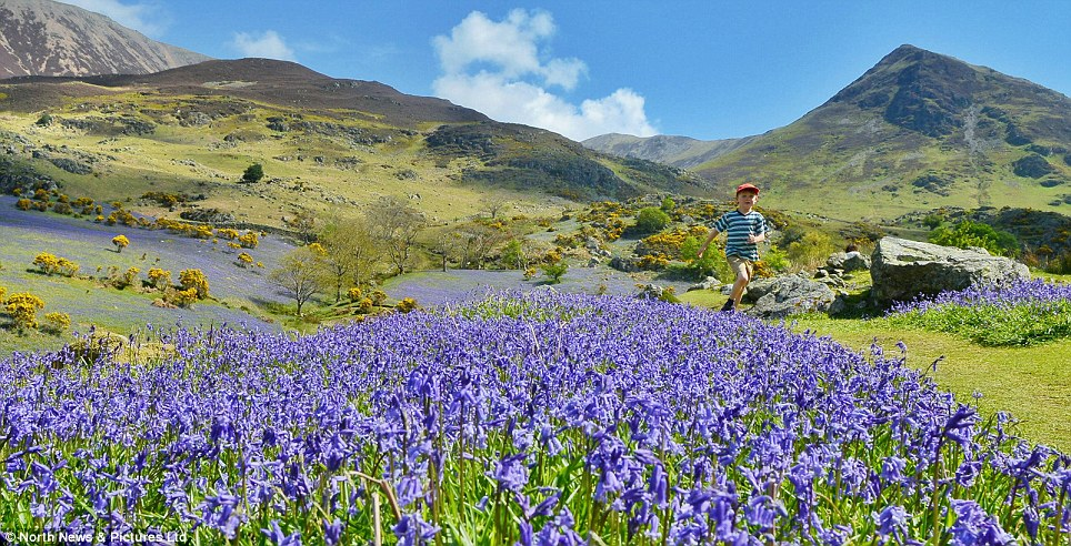 As spring finally arrives this weekend, the dramatic scenery of the Lake District adds to the splendor of the vivid indigo carpet of Bluebells covering the valley floor of Rannerdale
