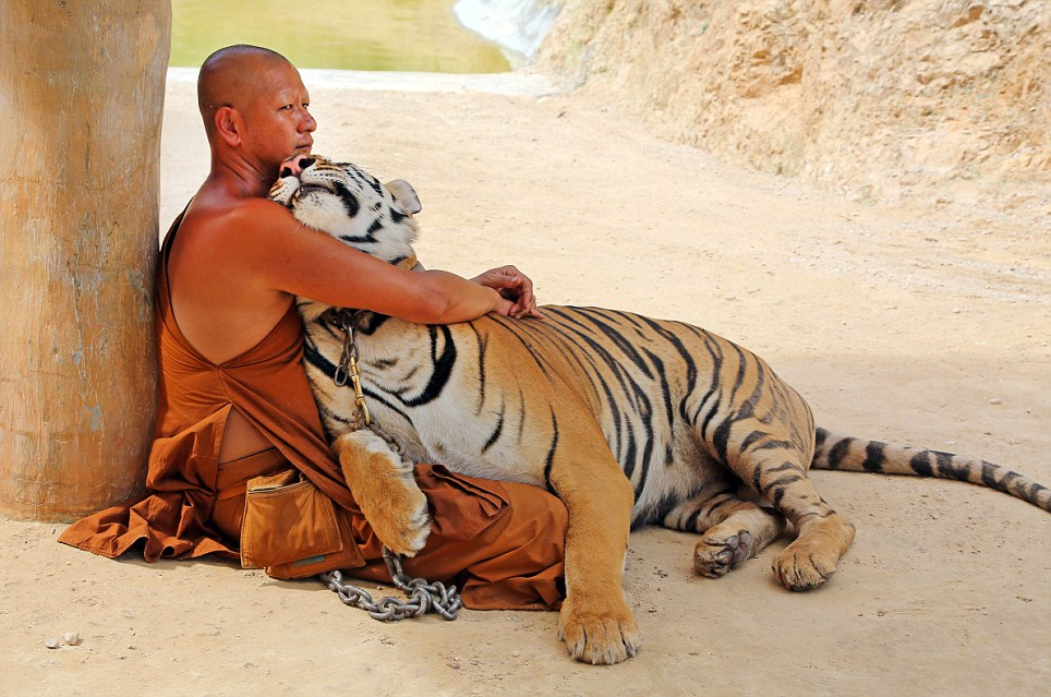 Cuddling up: In this remarkable photograph, an adult tiger and a Buddhist monk embrace in a seemingly mutual display of affection