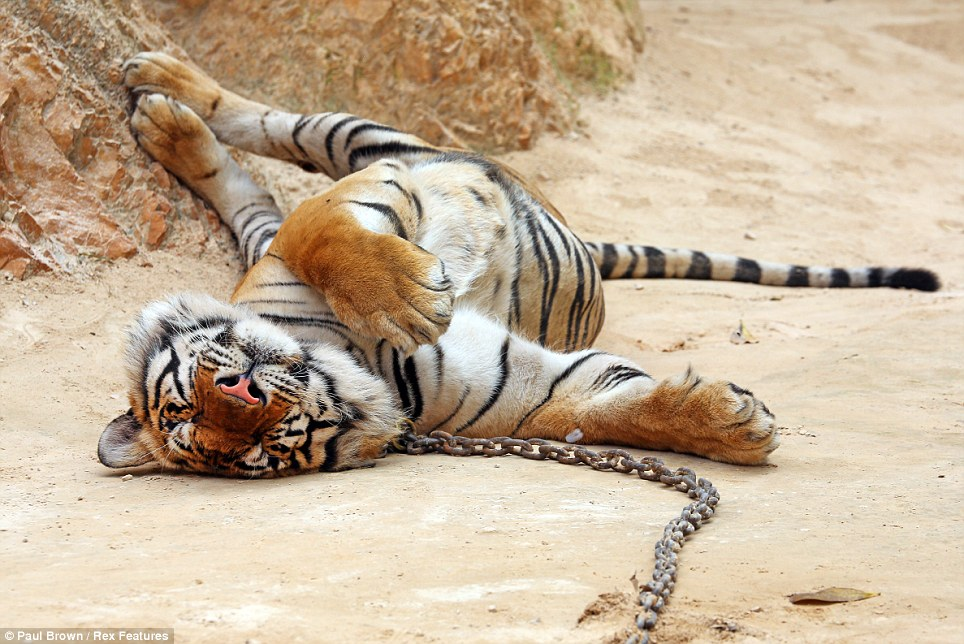 Chilling out: With temperatures soaring to more than 37 degrees in Thailand, the tiger sprawls out to make the best of the heat