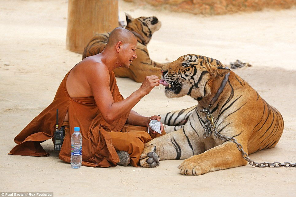 Feeding time: These beautiful creatures remain docile enough to be fed from the hands of a monk