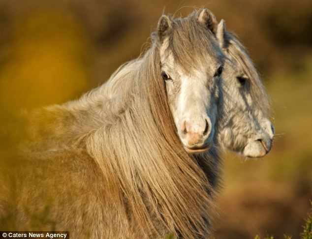 Optical illusion: Photographer Geoffrey Baker managed to snap what appeared to be a two-headed horse on a hill overlooking Three Cliffs bay on the Gower Peninsular