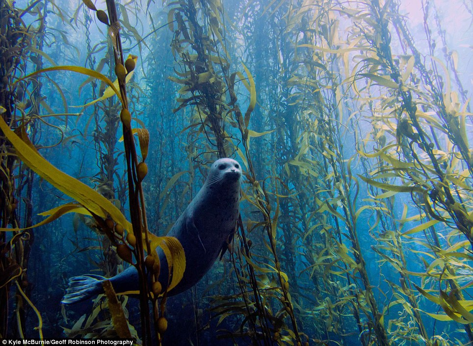 Beautiful: This winning picture by Kyle McBurnie, shows a Harbour seal in a kelp forest at Cortes bank, near San Diego, California