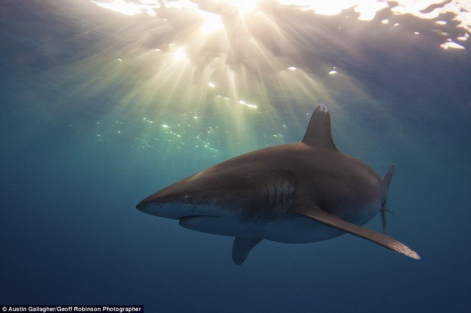 Fearsome: This spectacular photo by Austin Gallagher captures an Oceanic White Tip Shark looking menacing near the Bahamas