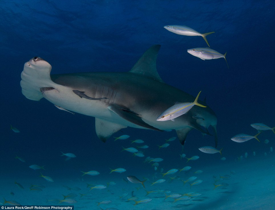 Up close and personal: Another image by Laura Rock is gives an intimate portrait of the hammerhead shark, normally regarded as a shy species