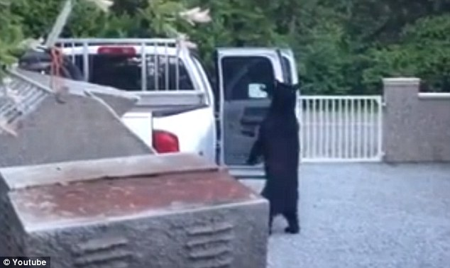 Crime spree: The bear is the main suspect in a spate of car break-ins around Maple Ridge