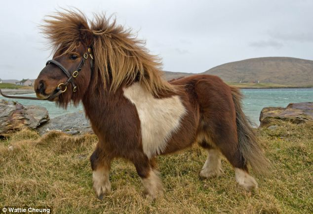 Mover and shaker: Socks the Shetland pony shot to fame after moonwalking in an advert for Three