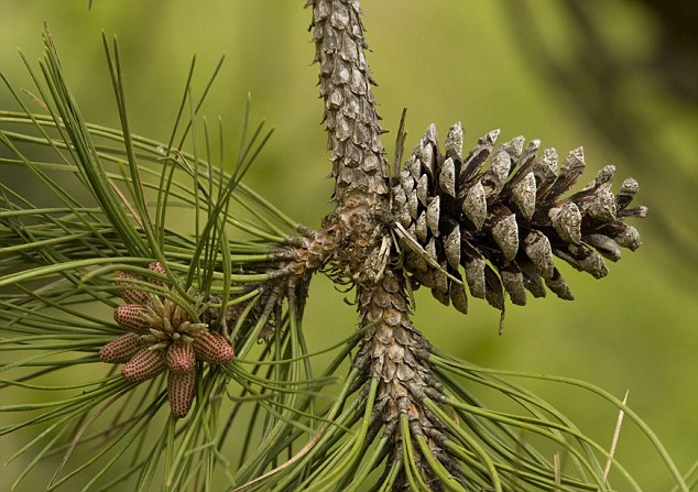 Neil Davey arranged for a maritime pine tree like this one, pictured, felled by a professional tree surgeon