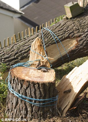 The stump of the perfectly healthy maritime pine tree