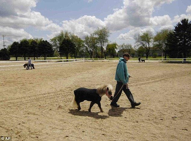 Tame: Tim Scotellaro, of Crystal Lake, Illinois, walks with a miniature horse at the Mane in Heaven pet therapy organization