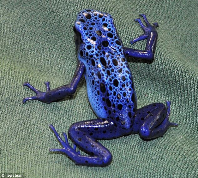 Until now the eggs that had been laid had gone mouldy and not formed properly. But after researching environmental conditions and breeding behaviour, the scientists were able to successfully breed a frog