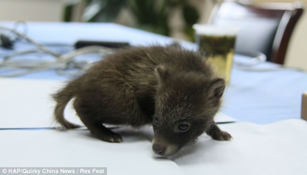Saved: Fortunately for this little rascal, he will be released back into the wild, unlike the 1.5 million raccoon dogs bread for fur in China every year