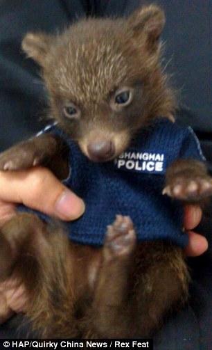 The baby raccoon in a mini police uniform