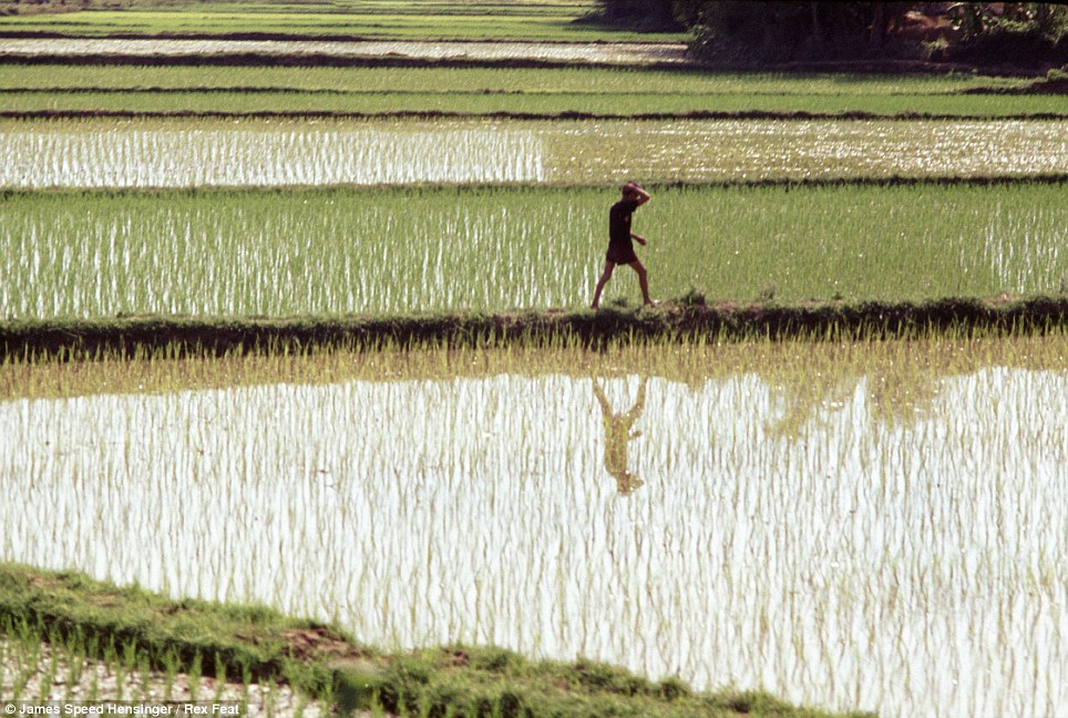 A man is seen walking through a rice paddy in the South Vietnamese town of Phu Tai, where Hendinger was stationed