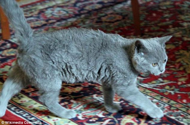 A grey Selkirk Rex on the prowl: The breed is not suitable for those with allergies because of its plush coat