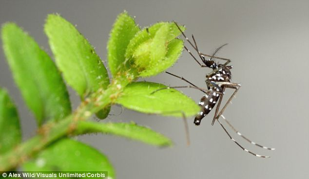 'Aggressive': The Asian tiger mosquito is the latest pest to invade New Jersey