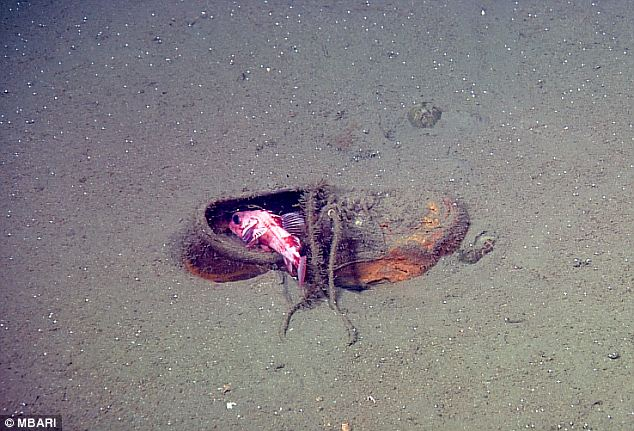 Everywhere: A rockfish in a shoe. The study took place over the course of 22 years and found trash everywhere they looked on the sea floor along the West Coast and around the Hawaiian Islands