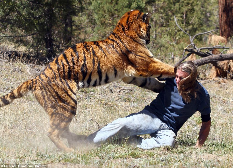 Double act: The tiger trainer appears to be in trouble as the big cat pins him to the ground - but it is all just an act