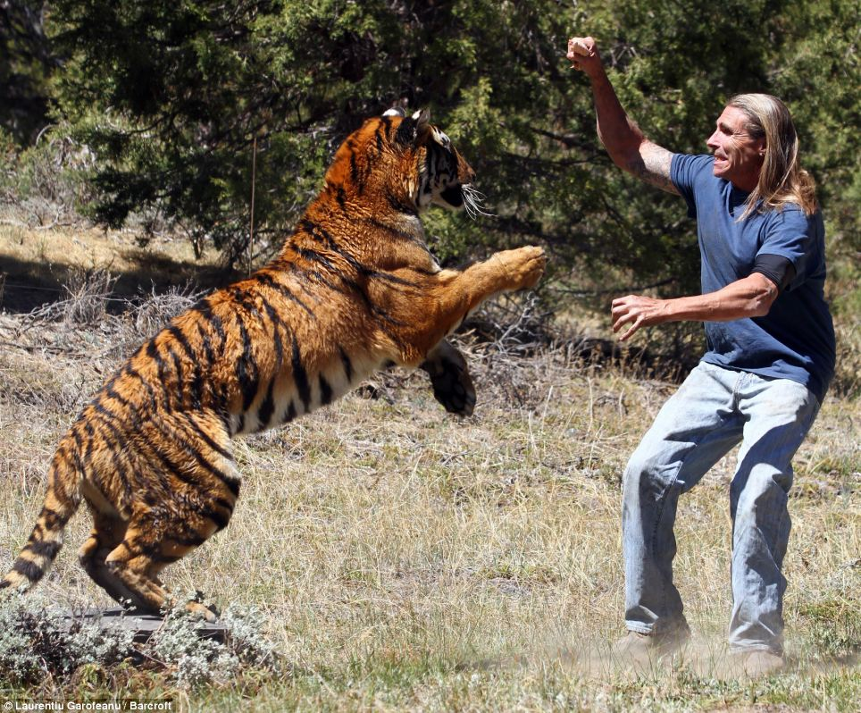 Power: Eden the 400lb tiger prepares to pounce on her trainer Randy Miller