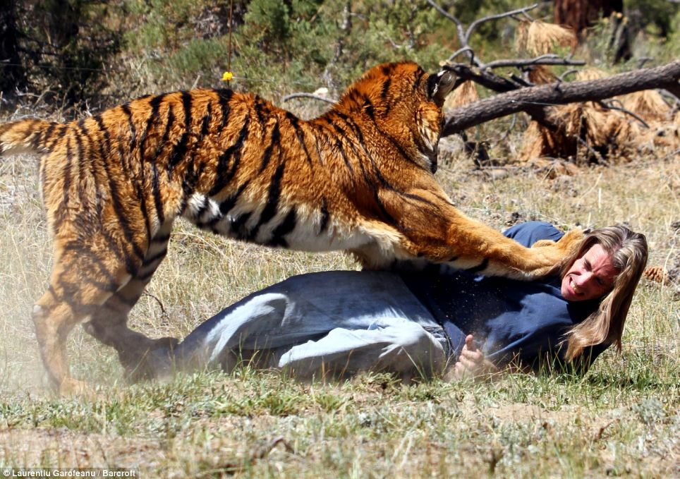 Frightening: Once he has him on the ground, the tiger appears to begin to maul Mr Miller