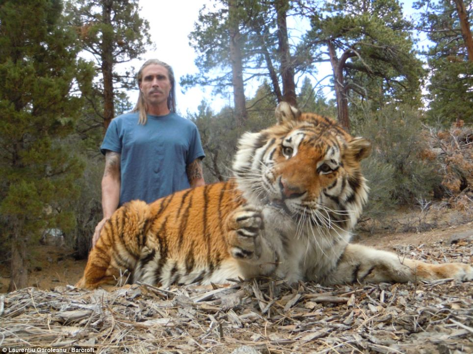 Lethal: Despite their bond, Mr Miller says he is all too aware of the danger the tiger poses