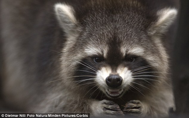 Vicious: The raccoon was likely rabid, authorities say. It was never found. (Stock photo)