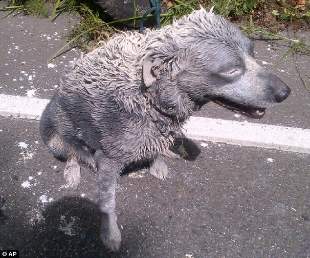 Painted pup: The driver's black dog was turned grey after being coated in a variety of substances