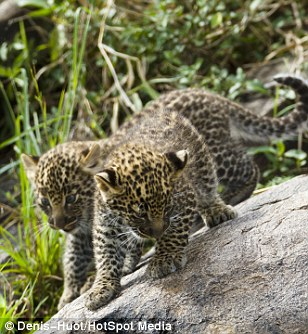 Fun times: The leopard cubs had been playing happily before the jackals arrived
