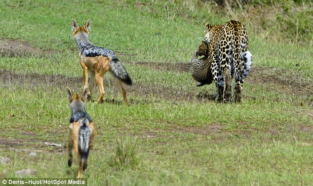 Tracking: The jackals don't let the leopards out of their sight as the mother tries to take her cubs to safety