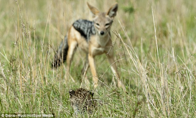 Brave: Even at such a young age the little leopard confronts the jackal and tries to scare it off