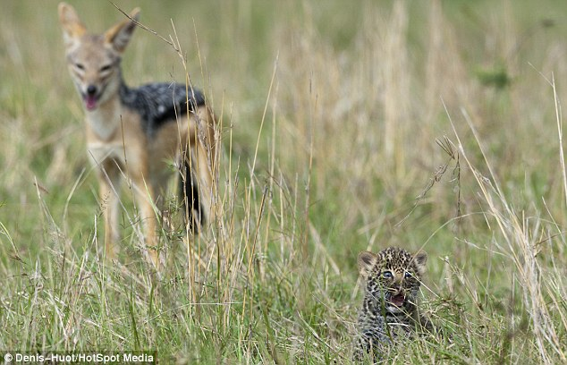 Surrounded: The tiny leopard cub makes as much noise as he can showing his tiny teeth at the predators