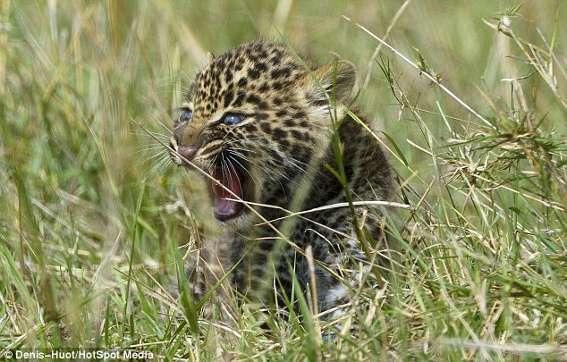 Fearless: The little lone leopard was able to keep the jackals at bay until help from its mother eventually arrived