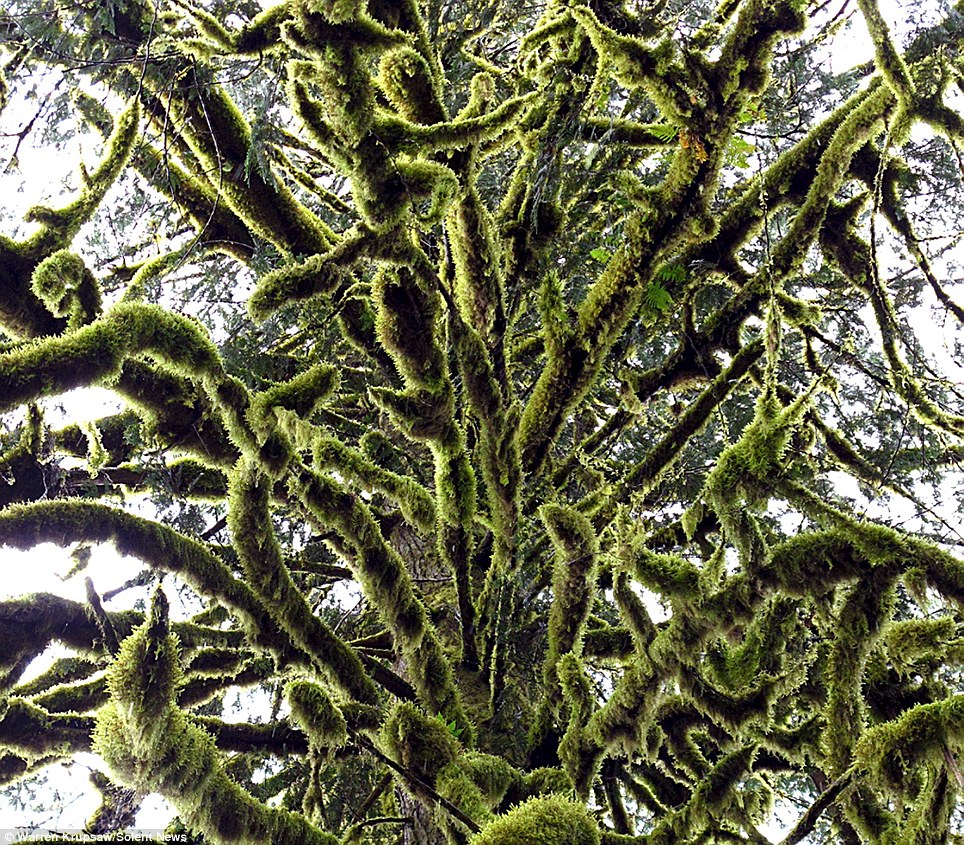 A 100-metre tall Sitka spruce tree in the Hoh Rainforest, Washington, US, can be seen fully coated with the moss