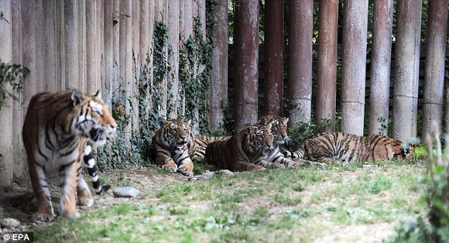 Tigers rest in their enclosure at the private park in Pinerolo, Turin, where   Mauro Lagiard was attacked